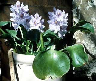 Jacinto de agua camalote camalotes lampazo violeta de - Jacinto planta cuidados ...