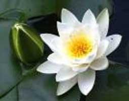 Nenúfar blanco, Rosa de amor, Rosa de Venus, Escudete de río, Golfán blanco, Adarga, Aguapé branco, Azucena de agua, Ninfa blanca, Ninfea blanca