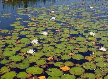 Plantas de Estanque Nymphaea-nenufar-blanco