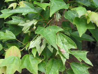 Arce Tridente Acer Buergerianum
