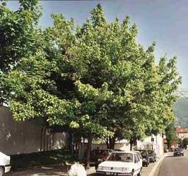 Arce negundo bordo arce americano arce de hojas de for Fresno caracteristicas