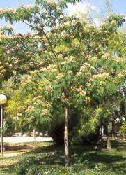 Acacia De Constantinopla Albizia Arbol De La Seda Parasol De La