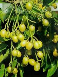 HỌC NẤU ĐƯỜNG - Page 2 Azadirachta-indica-frutos