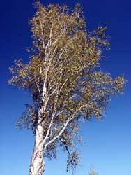 Abedul abedules betula pendula - Abedul blanco ...