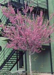 Cercis árbol Del Amor árbol De Judas Arbol De Judea Ciclamor Algarrobo Loco Infojardin
