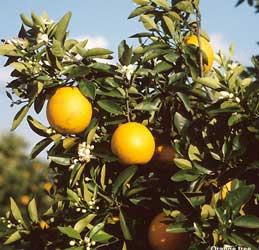 Naranjo amargo, Naranjo agrio, Naranja amarga, Naranja agria, Azahar.