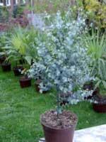 Gomero de la sidra eucalipto decorativo eucalyptus gunnii - Eucalyptus gunnii en pot ...