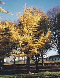 Gingo en otoño.