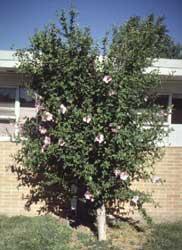 Altea rosa de siria hibiscus syriacus for Hibiscus arbol