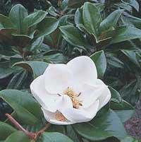 http://fichas.infojardin.com/foto-arbol/magnolia-grandiflora-flor.jpg