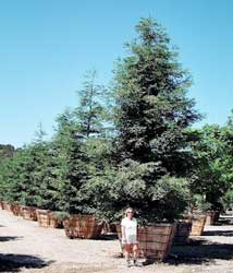 Secuoya, Secuoya roja, Sequoia, Secoya de California, Secoya.