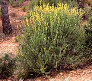 Albaida anthyllis cytisoides - Nombres de arbustos ...