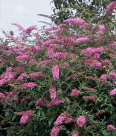 Budelia Budleia Budleja Arbusto De Las Mariposas Arbusto De La - Arbustos-de-flor