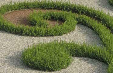 Boj enano boj de hoja peque a buxus sempervirens - Arbustos enanos para jardin ...