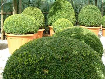 Boj boj com n boje buxus sempervirens - Arbustos enanos para jardin ...