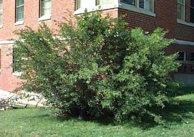 Caragana acacia de rusia arbusto del guisante caragana - Nombres de arbustos ...
