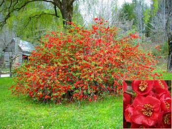 Membrillero de flor membrillero japon s membrillero del - Nombres de arbustos ...
