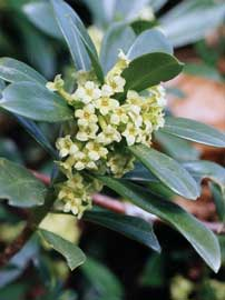 Laureola, Torvisco macho, Adelfilla