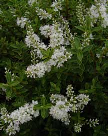 Hebe hebe buxifolia for Hebe arbusto