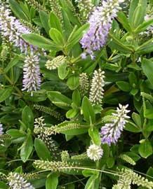 Hebe ver nica hebe speciosa for Hebe arbusto