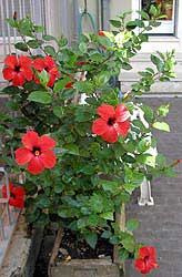 Hibisco, Rosa de China, Pacífico, Cardenales, Flor del beso