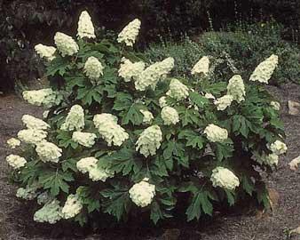 http://fichas.infojardin.com/foto-arbusto/hydrangea-quercifolia.jpg