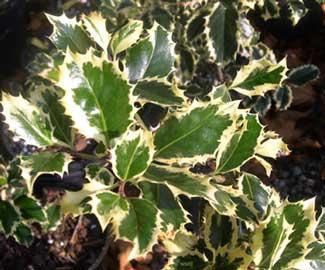 Plantas para zona continental (Guadalajara) Ilex-aquifolium-variegatum
