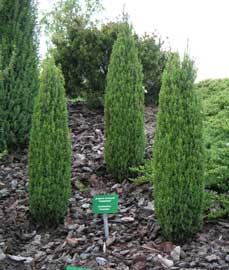 Junniperus communis