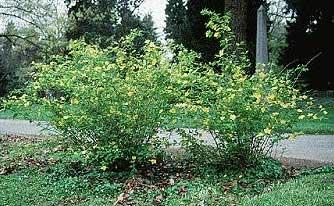 Kerria querria flor de globo rosa japonesa mosqueta - Lista nombre arbustos ...