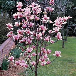 Magnolio caduco magnolio chino arbol lirio rbol - Cuidados del magnolio ...