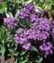 Heliotropium arborescens = Heliotropium peruvianum ........ ( Heliotropo )