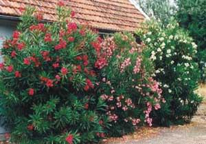 Adelfa adelfas laurel rosa balandre nerium oleander - Poda del laurel ...