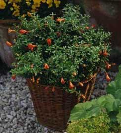 Granado enano punica granatum var nana for Arbustos enanos para jardin