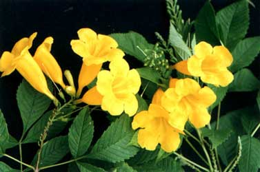 Yellow trumpetbush project noah for Infos jardin