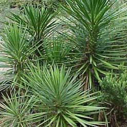 Yuca pinchuda yuca pinchona bayoneta espa ola yucca aloifolia - Yuca infojardin ...