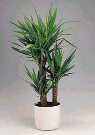 Nombre de esta planta cuidar de tus plantas es - Yucca elephantipes cuidados ...