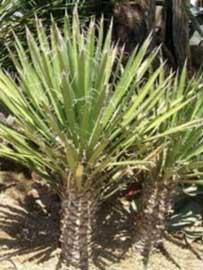Palma china izote palma corriente palma grande yucca filifera - Yuca infojardin ...