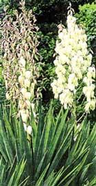Daga espa ola yucca gloriosa - Yuca infojardin ...