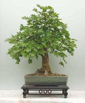 foto bonsai interior: