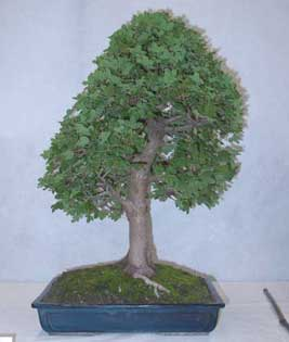 Bonsai - Arce de Montpellier