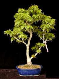 Ishi bonsai - Arce japones cuidados ...
