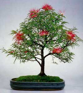 Bonsai - Caliandra