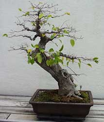 Bonsai - Almez de China, Almez chino