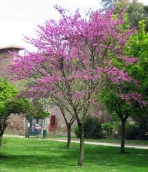 Rbol de amor nandumbu algarrobo loco arjor n ciclamor for Quel arbre pour petit jardin