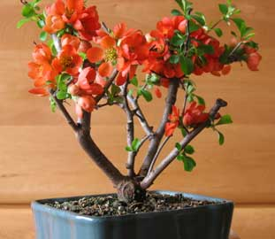 Bonsai - Membrillero japonés, Membrillo del Japón, Membrillo japonés