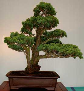 Bonsai - Falso cipres, Ciprés de Lawson