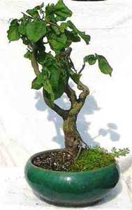 Bonsai - Avellano tortuoso