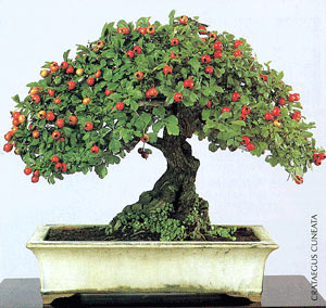 Bonsai - Espino de China