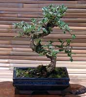 Carmona Te De Fukien Ehretia Buxifolia Carmona Microphylla Bonsai