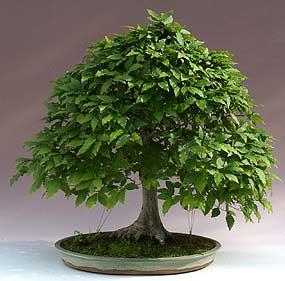 Haya japonesa fagus crenata bonsai - Bonsai de haya ...
